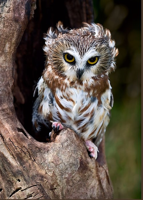 Owl Greeting Card featuring the photograph Saw-whet Owl by Wade Aiken