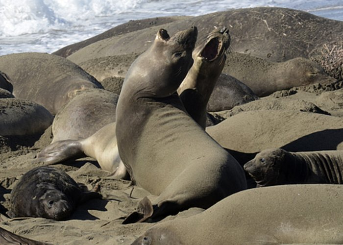 California Greeting Card featuring the photograph Seal Duet by Bob Christopher