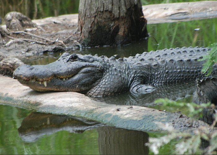 Florida Greeting Card featuring the photograph The Other Florida Gator by Margaret Fortunato