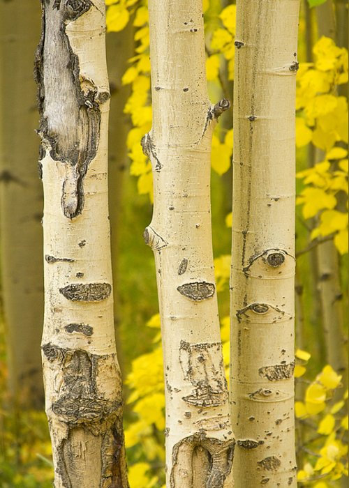 Autumn Greeting Card featuring the photograph Three Autumn Aspens by James BO Insogna