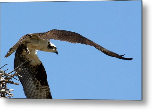 Osprey Metal Print featuring the photograph Leaving The Nest by Annie Babineau