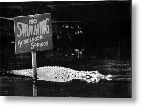 Retro Images Archive Metal Print featuring the photograph Gator At Homossa Springs by Retro Images Archive