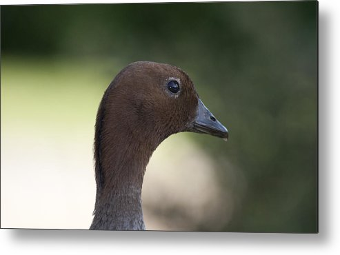 Duck Metal Print featuring the photograph Duck by Masami Iida