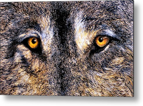 Wolf Eyes Metal Print featuring the print Just Watching Wolf by JoLyn Holladay