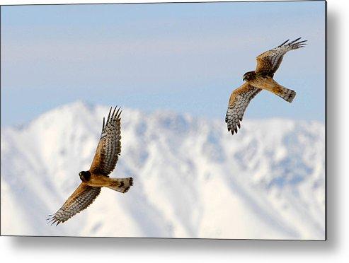 Bird Metal Print featuring the photograph Mating Pair Harrier Hawks by Dennis Hammer