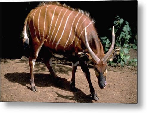 Bongo Metal Print featuring the photograph Bongo In Kenya by Carl Purcell