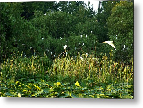 Egret Metal Print featuring the photograph Egrets Nesting by Kathi Shotwell