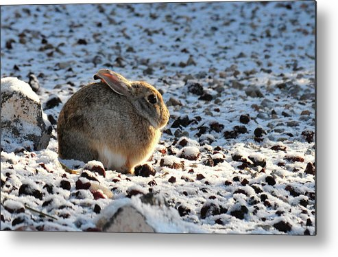 Animal Metal Print featuring the photograph Wabbit by David Arment
