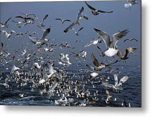 Chaos Metal Print featuring the photograph Flock Of Seagulls In The Sea And In Flight by Sami Sarkis