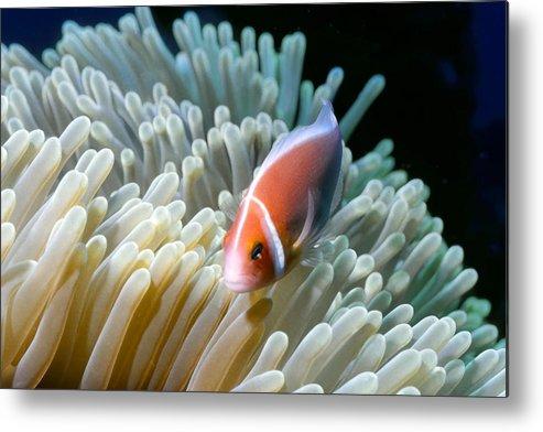 Micronesia Metal Print featuring the photograph Clownfish 9 by Dawn Eshelman