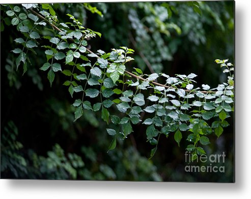 Green Metal Print featuring the photograph Greens by Dan Holm