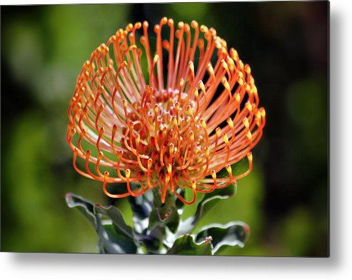 Protea Metal Print featuring the photograph Protea - One Of The Oldest Flowers On Earth by Christine Till