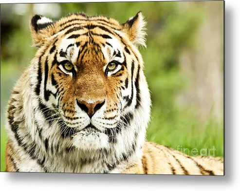 Siberian Metal Print featuring the photograph Siberian Tiger Beautiful Closeup by Boon Mee