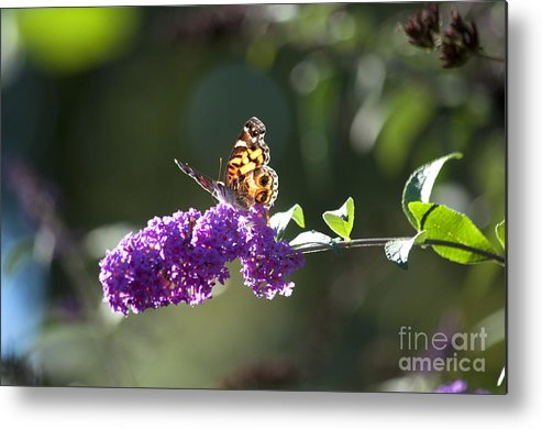 Butterfly Metal Print featuring the photograph Sipping On Syrup by Affini Woodley