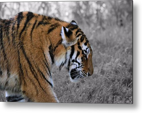 The Tiger Metal Print featuring the photograph Stalking Tiger by Dan Sproul