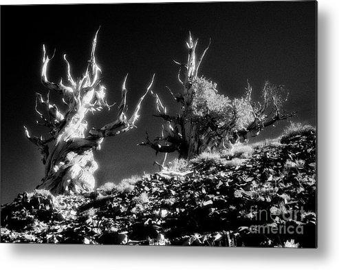 Ancient Bristlecone Pines Of California - - - This Image Is Available For Commercial Use License. File # Fir-n-1010 - - More Similar Images Of Mine Can Be Seen On My Web Site At Metal Print featuring the photograph The Ancients - 1001 by Paul W Faust - Impressions of Light