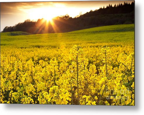 Yellow Metal Print featuring the photograph The Yellow Rapeseed Field Beautiful by Boon Mee