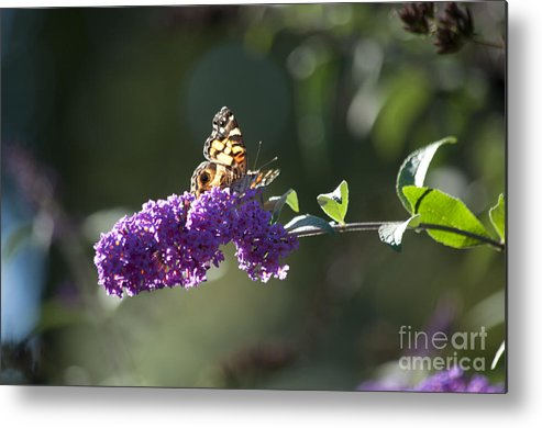 Butterfly Metal Print featuring the photograph Touchdown by Affini Woodley