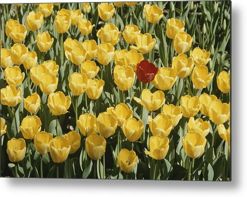 Plants Metal Print featuring the photograph A Single Red Tulip Among Yellow Tulips by Ted Spiegel