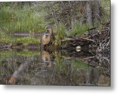 Beaver Metal Print featuring the photograph Beaver Pair by Charles Warren