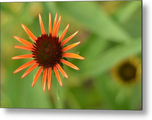 Orange Metal Print featuring the photograph Crazy Coneflower Patch by Maria Suhr