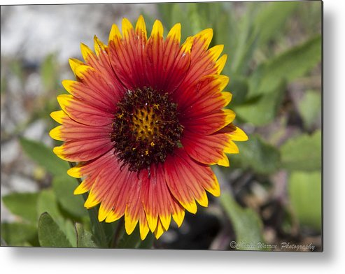 Flower Metal Print featuring the photograph Smiles by Charles Warren