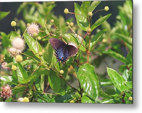 Butterfly Metal Print featuring the photograph 080706-6 by Mike Davis