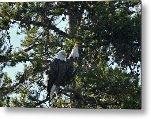 Bald Metal Print featuring the photograph Bald Eagle by Greg Payne