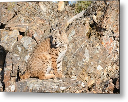 Bob Cat Metal Print featuring the photograph Bob Cat by Dennis Hammer