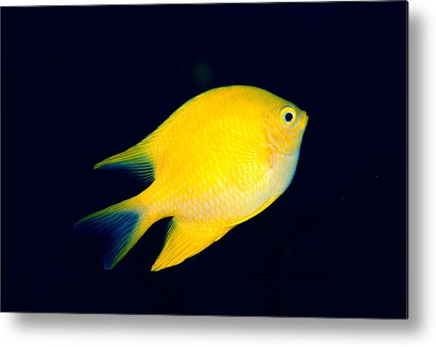 30-pfs0131 Metal Print featuring the photograph Golden Damselfish by Dave Fleetham - Printscapes