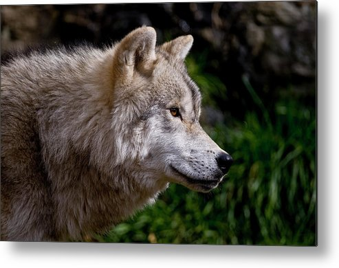 Michael Cummings Metal Print featuring the photograph Arctic Wolf Portrait by Michael Cummings