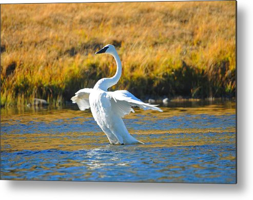 Bird Metal Print featuring the photograph Swan by Greg Payne