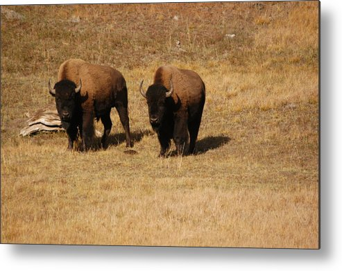 Yellowstone Metal Print featuring the photograph Buffalo by Greg Payne