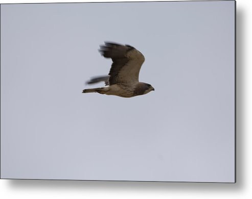 Photography Metal Print featuring the photograph A Hawk Near The Charles M. Russell by Joel Sartore