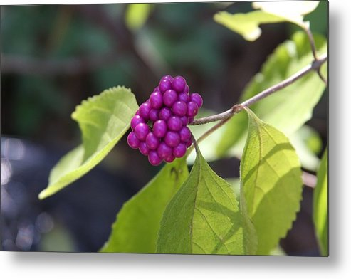 Berries Metal Print featuring the photograph American Beauty by Kenna Westerman