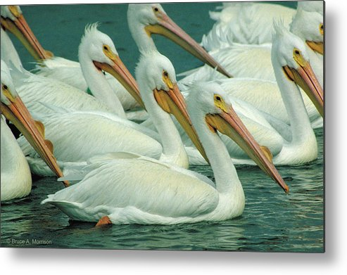 White Pelicans Metal Print featuring the photograph American White Pelicans by Bruce Morrison