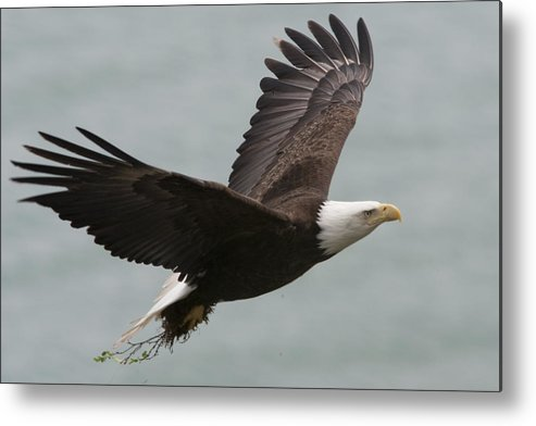 Day Metal Print featuring the photograph An American Bald Eagle Soaring by Roy Toft