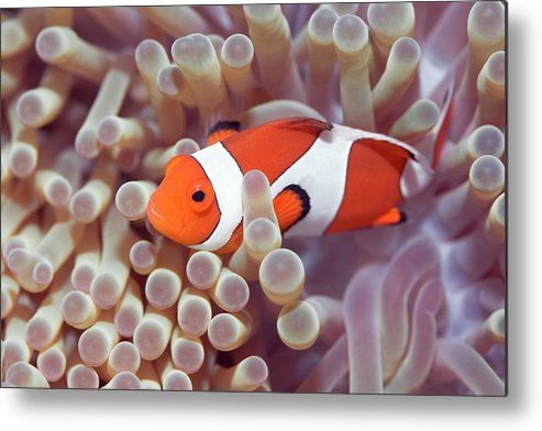 Clown-fish Metal Print featuring the photograph Anemone And Clown-fish by MotHaiBaPhoto Prints