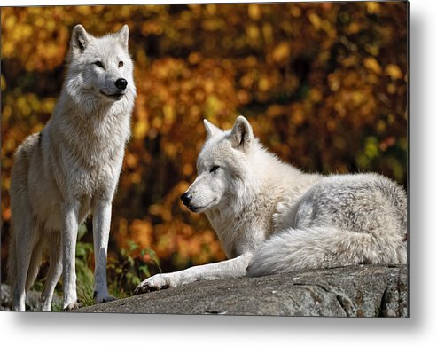 Michael Cummings Metal Print featuring the photograph Arctic Wolves On Rocks by Michael Cummings
