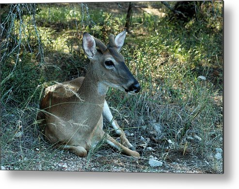 Deer Metal Print featuring the photograph Baby Buck by Teresa Blanton