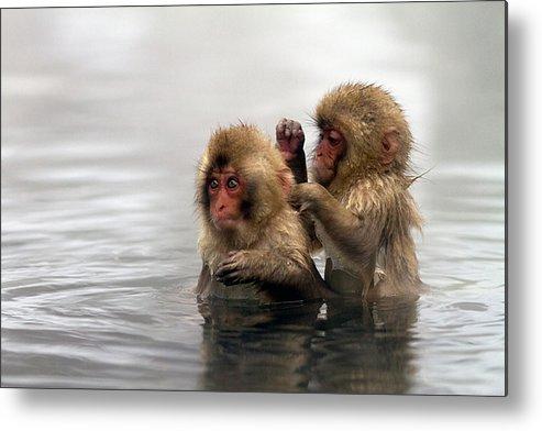 Horizontal Metal Print featuring the photograph Baby Japanese Macaques snow Monkeys by Oscar Tarneberg