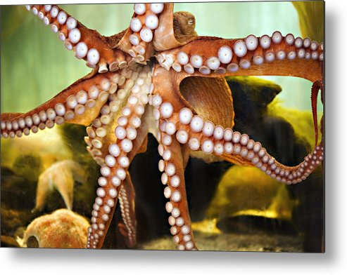 Octopus Metal Print featuring the photograph Beautiful Octopus by Marilyn Hunt
