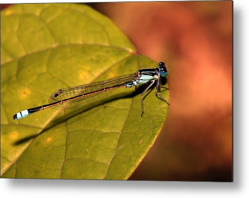 Metal Print featuring the photograph Bluetail At Sunset by Lesley Smitheringale