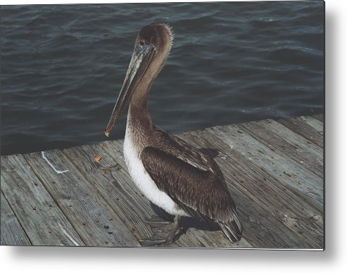 Bird Metal Print featuring the photograph Brown Pelican On Pier 2 by Wendell Baggett