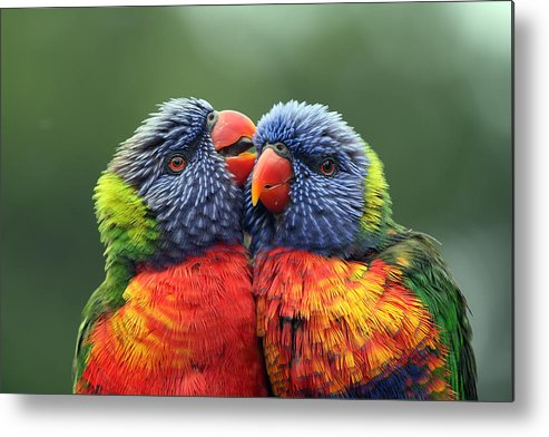 Rainbow Lorikeets Metal Print featuring the photograph Canoodling In The Rain by Lesley Smitheringale