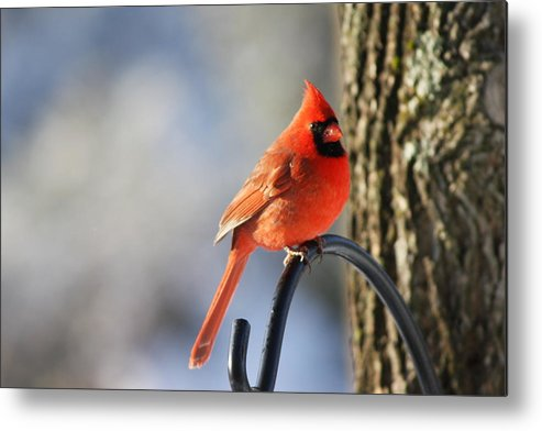 Red Metal Print featuring the photograph Cardinal by Danielle Gareau