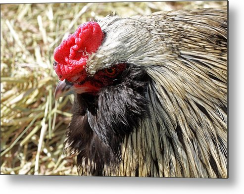 Bird Metal Print featuring the photograph Chicken Portrait by Paul Slebodnick