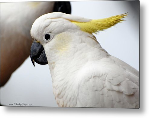 Cockatoo Metal Print featuring the photograph Cockatoo 3237 by PhotohogDesigns