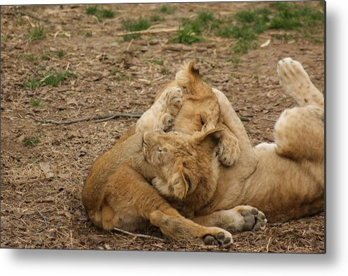 Lion Cubs Metal Print featuring the photograph Cubs Wrestling by Tina McKay-Brown