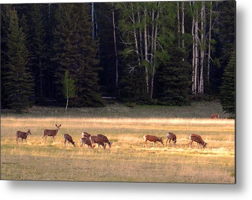Deer Metal Print featuring the photograph Deer At Kaibab Meadows by Neil Doren